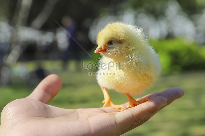 78 Gambar Ayam Anak Terlihat Keren