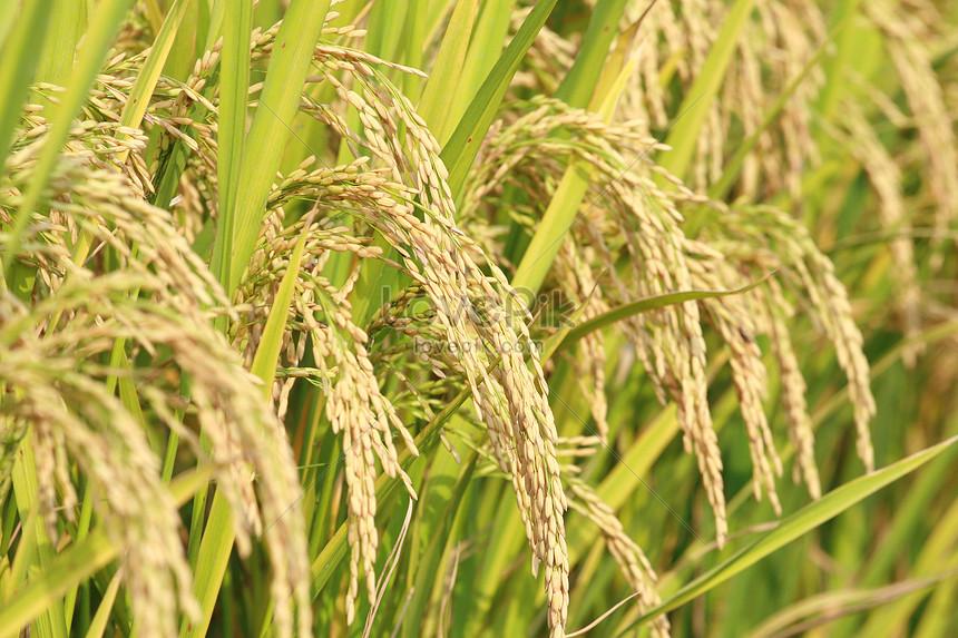 jiangnan rice field