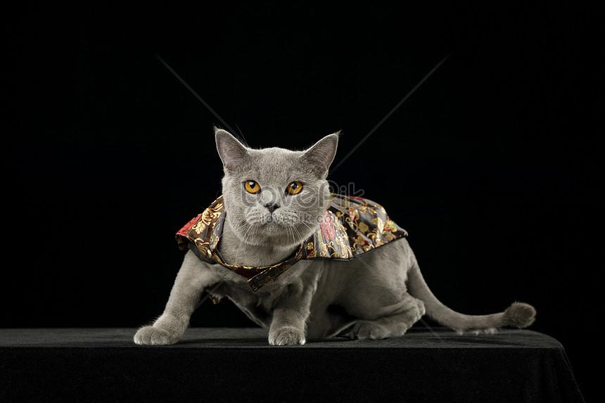 British Short Blue Cat Photo Image Picture Free Download 501346180 Lovepik Com