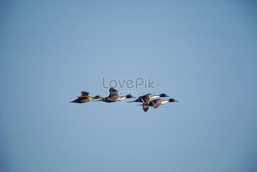 Lovepik صورة Jpg 501474786 Id صورة فوتوغرافية بحث صور الطيور المهاجرة