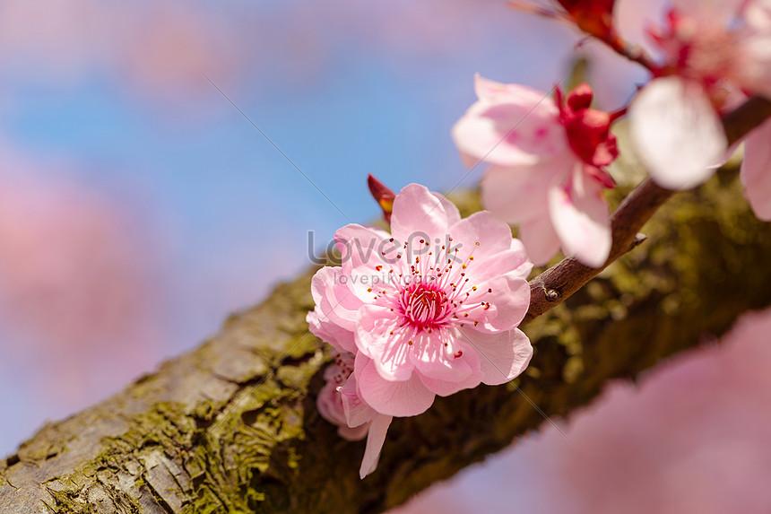 ciruela florece en primavera