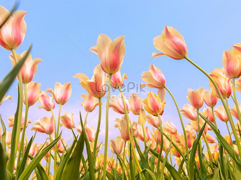 tulip musim semi mekar