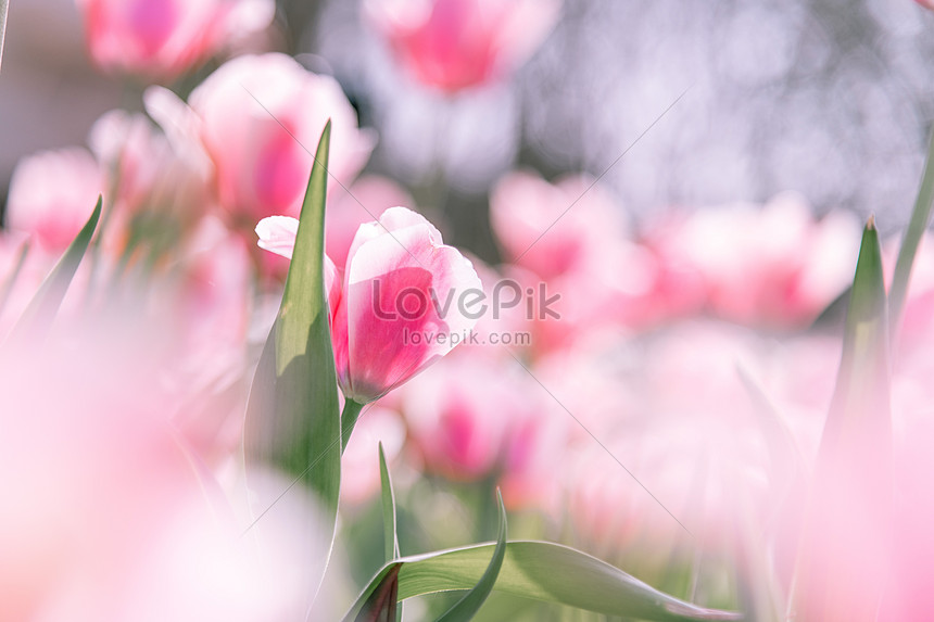 tulips in the spring sunshine