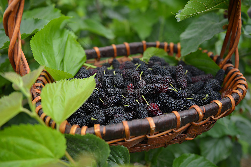 Fresh Mulberries On The Farm Photo