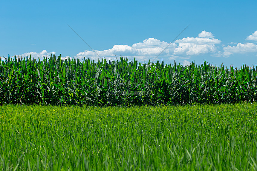 rural rice fields and corn fields