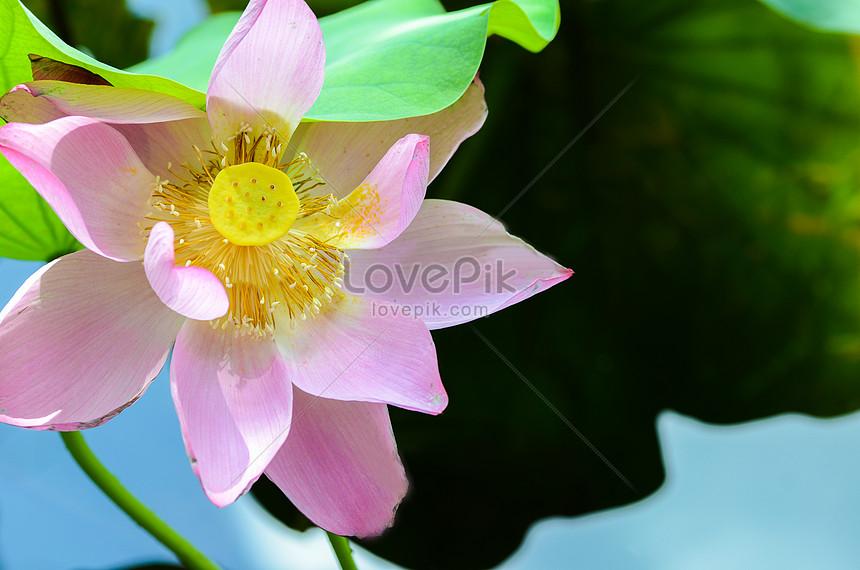 lotusbloemvijver
